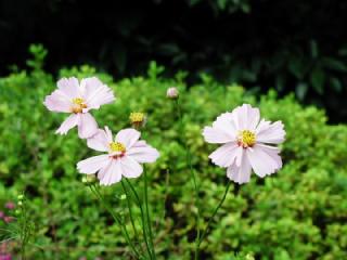 コスモス(こすもす、秋桜)の花言葉(花ことば、はなことば)