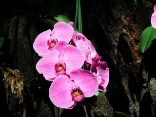 胡蝶蘭(コチョウラン、こちょうらん)の花言葉(花ことば)