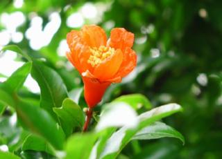 ザクロ(ざくろ)の花言葉(はなことば、花ことば)
