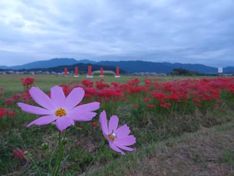 秋の花巡り!藤原宮跡のコスモスみぃつけた! (2/2話)