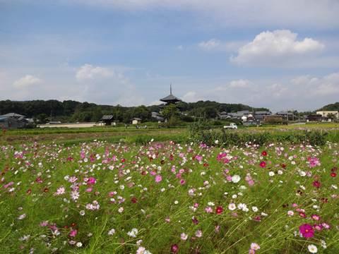 秋桜三昧!奈良のコスモスみぃつけた! ~法起寺周辺 編~ (1/3話)
