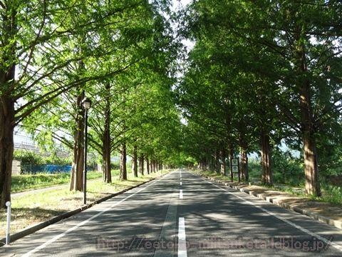 街路樹が作り出す絶景!メタセコイア並木みぃつけた!