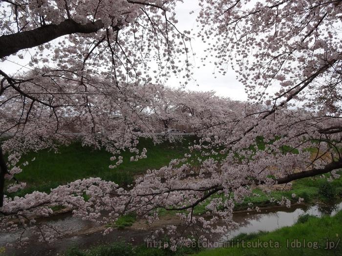 2016_Sakura (3)