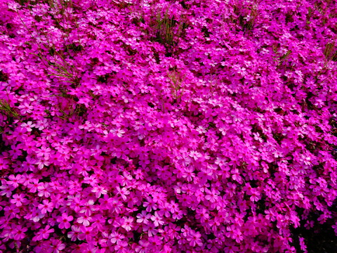 琵琶湖の芝桜スポットみぃつけた!