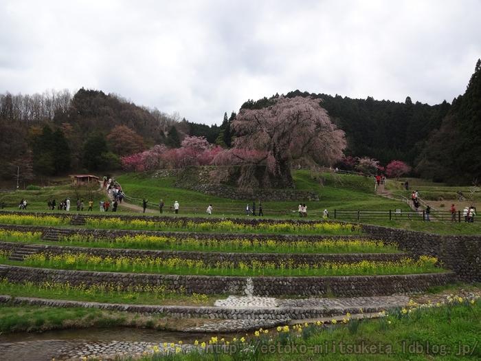 2015_Sakura (1)