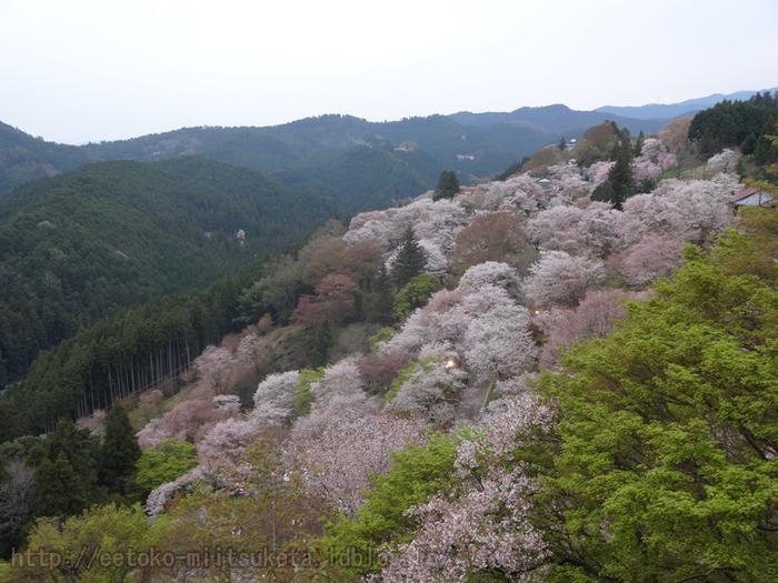 2014_Sakura (6)
