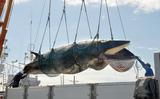 鯨1・ミンククジラ
