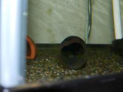 インペ稚魚2