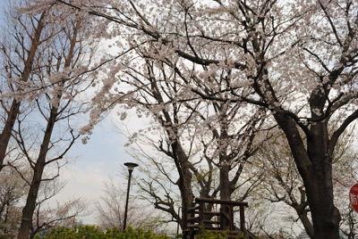 nishi_sakura9.jpg