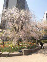 常磐橋公園 桜と花壇