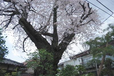 nishi_sakura10.jpg