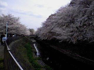 2009_asagaya_ayumi_sakura1.jpg