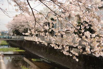 nishi_sakura5.jpg