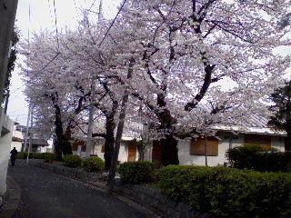 2009_asagaya_ayumi_sakura6.jpg