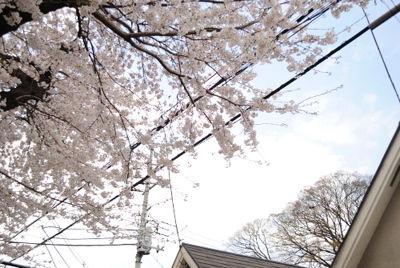 nishi_sakura8.jpg
