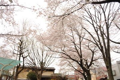 nishi_sakura6.jpg