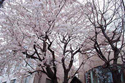 nishi_sakura2.jpg