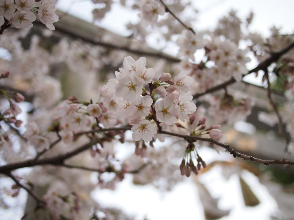 120408 桜さくら00  今年の春休みは大学生活最後の休みらしい(研究室入ったら長期の休みは