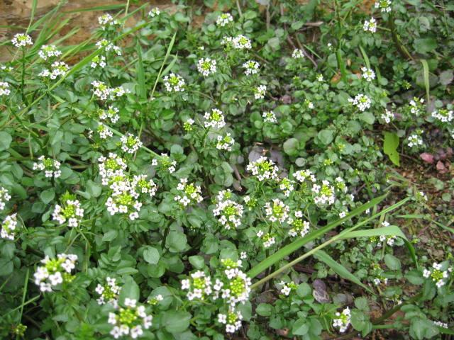 クレソンの白い花群生