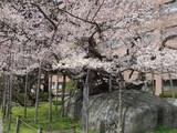 石割桜咲く