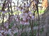 枝垂桜−2