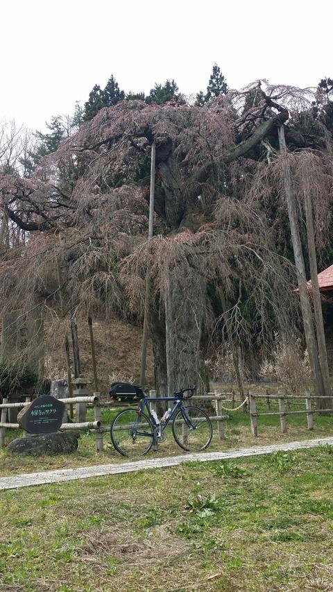 27_永泉寺の桜