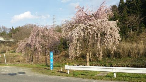 23_桜川沿いの桜