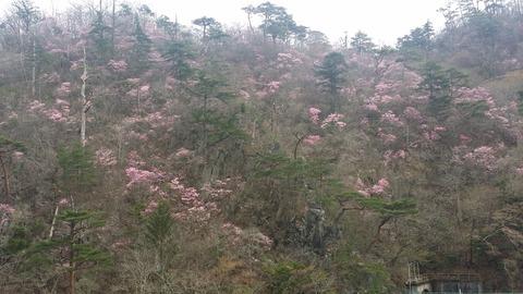 31_夏井川沿いの山桜