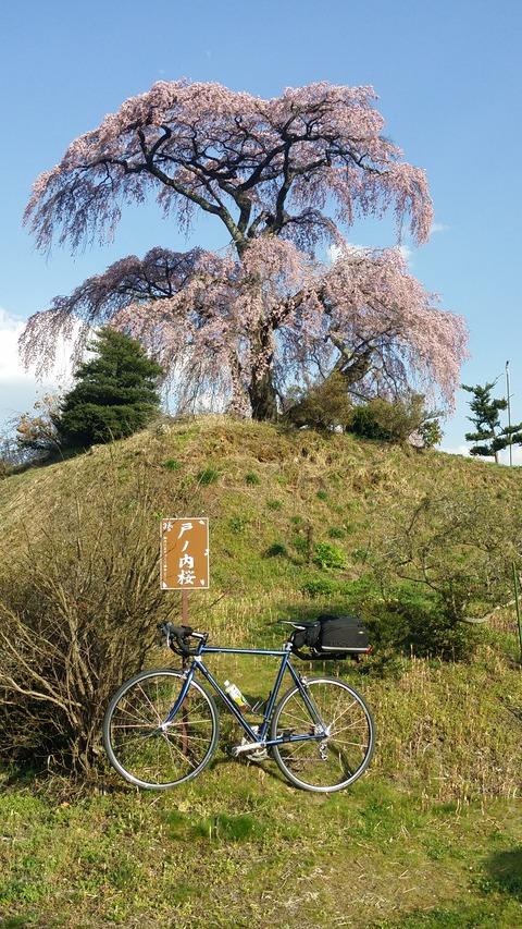 22_戸ノ内桜