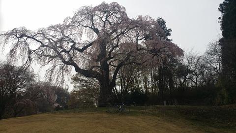 25_八十内かもん桜