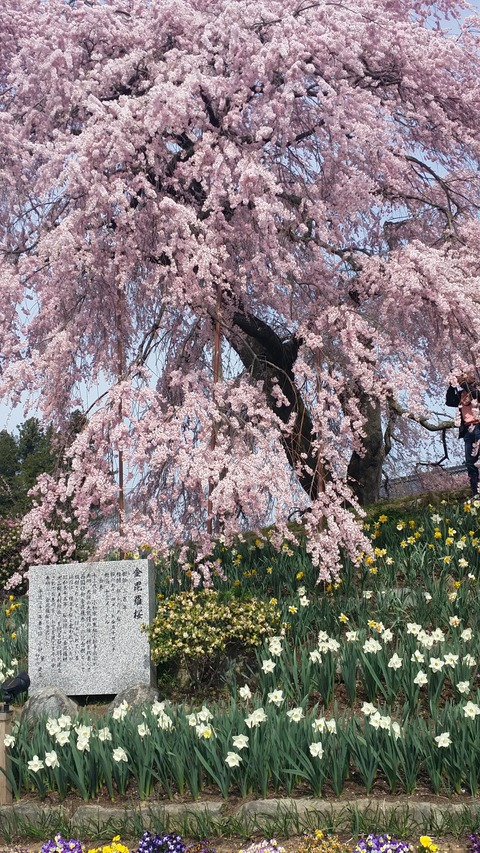04_金比羅桜