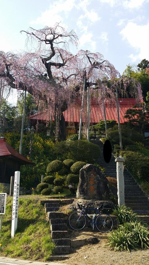 19_大聖寺の紅しだれ桜
