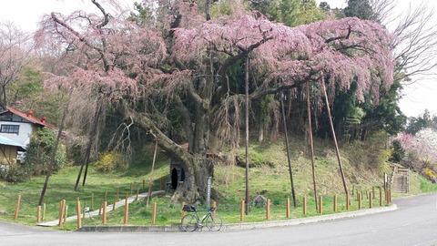 14_紅枝垂れ地蔵桜