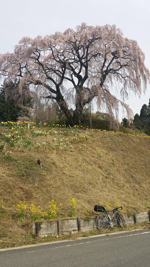 26_芹ヶ沢の桜