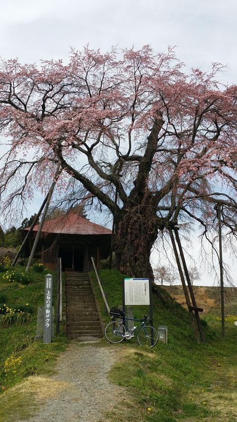 12_上石の不動桜
