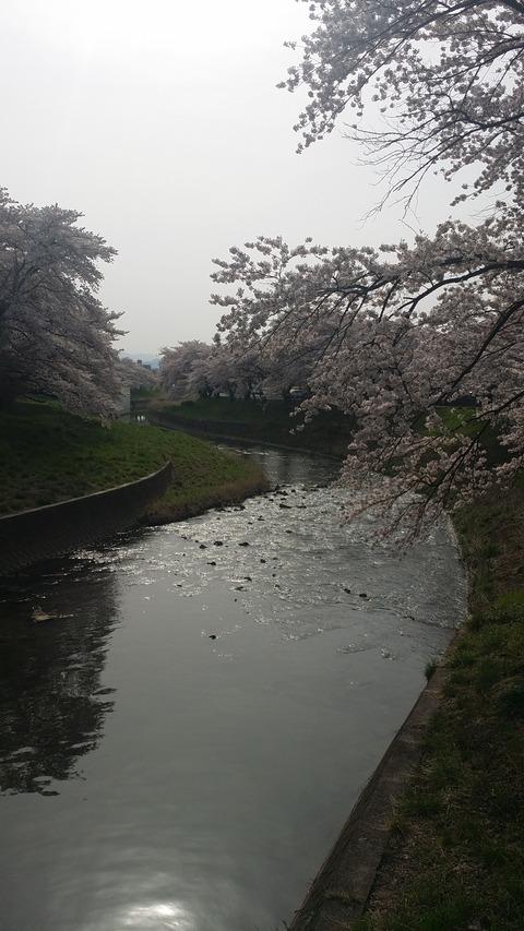 24_遭瀬川の桜