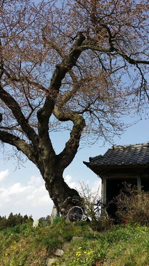 16_小沢の桜
