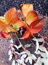 谷うつがの紅葉 ぐみ