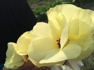 IMG_0414  花おくらの花