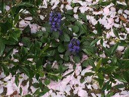 散った桜の中の花