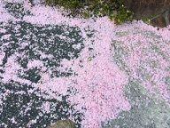 散った桜2