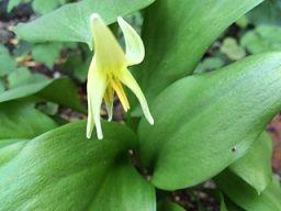 カタクリ黄花