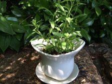 山野草 鉢
