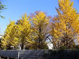 明治薬科大学のイチョウの黄葉