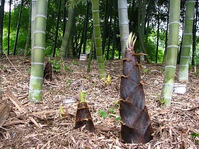 羽村市動物公園の竹林のタケノコ