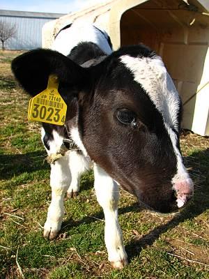 加藤牧場の看板牛はとてもフレンドリー