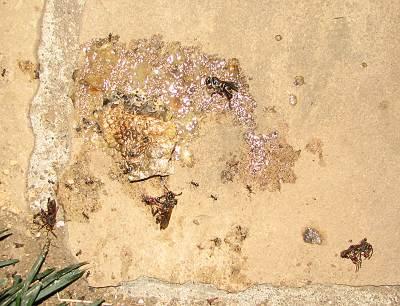 駆除された蜂の巣と蜂(踏み潰された後)