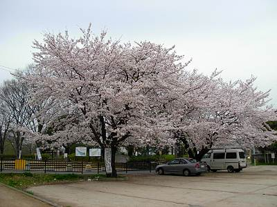 金山緑地公園駐車場の桜