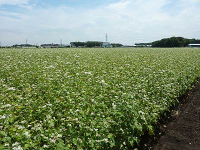 三芳町のそば畑