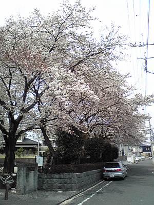 長者久保公園の桜